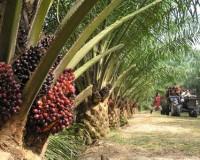 Palm oil Afrique
