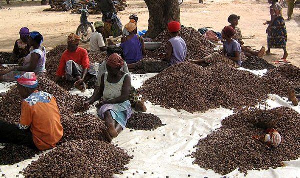 Collecte de noix de karité
